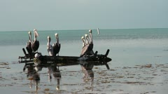 Brown Pelicans yawning in the Florida Keys Stock Footage