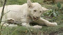 Cub chews on stick Stock Footage