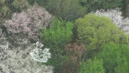 Stock Video Footage of Aerial view of beautiful Japanese cherry blossom