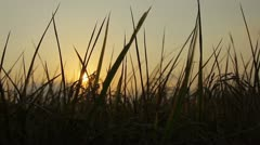 Sunset at the paddy fields - stock footage