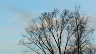 Large flock of black birds fly to trees Stock Footage