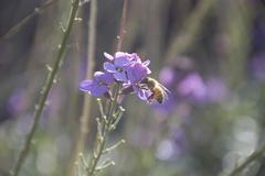 Honeybee on Wallflower Stock Photos