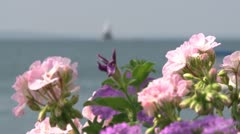 Brilliant flowers overlooking the bay (3 of 5) Stock Footage