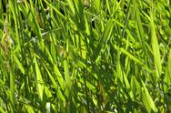 Stock Photo of River grass