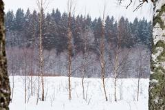 Birchs on winter snow forest edge Stock Photos