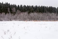 edge of a spruce forest in winter - stock photo