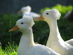 Crested ducks - stock photo