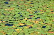 Stock Photo of Water lilies