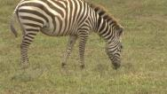 ZEBRA WITH POACHER'S SNARE Stock Footage