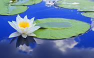 White lily on a lake Stock Photos