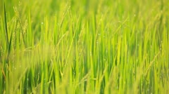 Rice farm and drop Stock Footage