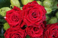 wet red roses - stock photo