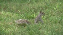 Squirrel rummaging through the forest (1 of 4) Stock Footage