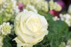 Single white rose Stock Photos