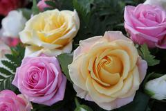 yellow and pink roses - stock photo