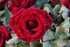 Red wet rose Stock Photos