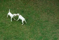 dangerous dogs - stock photo