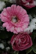 pink roses and gerberas in the snow - stock photo