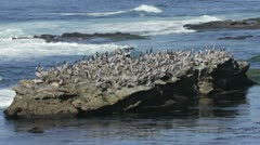 Pelicans and Seals Resting on Rock Stock Footage