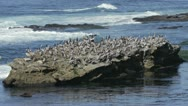 Stock Video Footage of Pelicans and Seals Resting on Rock