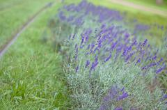 Blossoming Blue Lavender along a Way Stock Photos