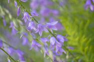 Beautiful Elegant blue Bluebells Stock Photos