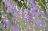 Beautiful Garden Bluebells Stock Photos