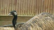 An Australian Emu Stock Footage