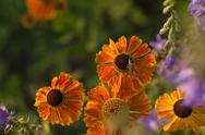 Beautiful little orange Gardenflower Stock Photos