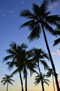 sunset palms - stock photo