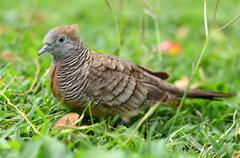 Zebra dove - stock photo