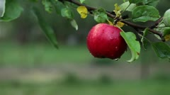 juicy red apple on a tree branch - stock footage