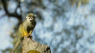 Common Squirrel Monkey looking round on rock Stock Footage