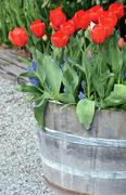 tulip barrel planter - stock photo