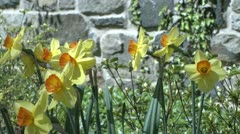 Flowers along a stone wall (2 of 3) Stock Footage