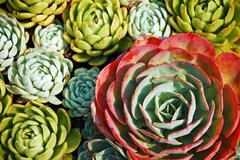 hens and chicks plants - stock photo