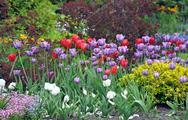 Stock Photo of colorful spring tulip garden