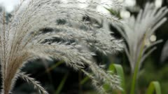 Ears of green and white ornamental grasses in breeze Stock Footage