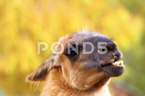 Stock photo of funny llama