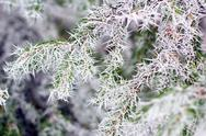 Spruce branch in winter Stock Photos