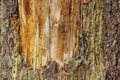 old scar on a spruce - stock photo