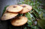 Honey fungus Stock Photos