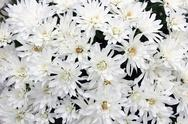 White mums bouquet Stock Photos