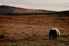 Dartmoor Ponies on Dartmoor, England - Wide Shot - stock photo