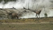 UNEARTHLY ELK Stock Footage