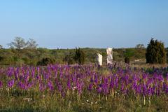 carpet of purple wildflowers - stock photo