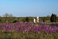Carpet of purple wildflowers Stock Photos