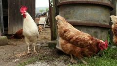 Chickens and white rooster walking Stock Footage