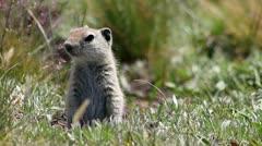 Alert Prairie Dog Stock Footage