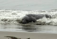 Elephant Seal Coming Ashore Stock Footage